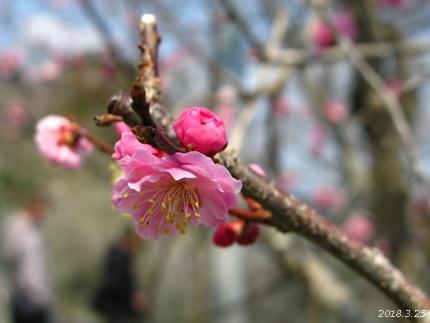 専称寺の梅が限定公開されました [平成30年3月25日(日)更新]18