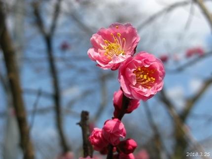 専称寺の梅が限定公開されました [平成30年3月25日(日)更新]19