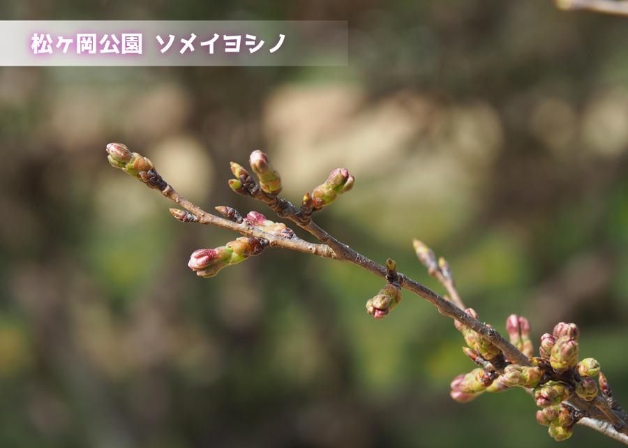 《いわき市桜情報》松ヶ岡公園のソメイヨシノ 開花までカウントダウン! [平成30年3月25日(日)更新]トップ