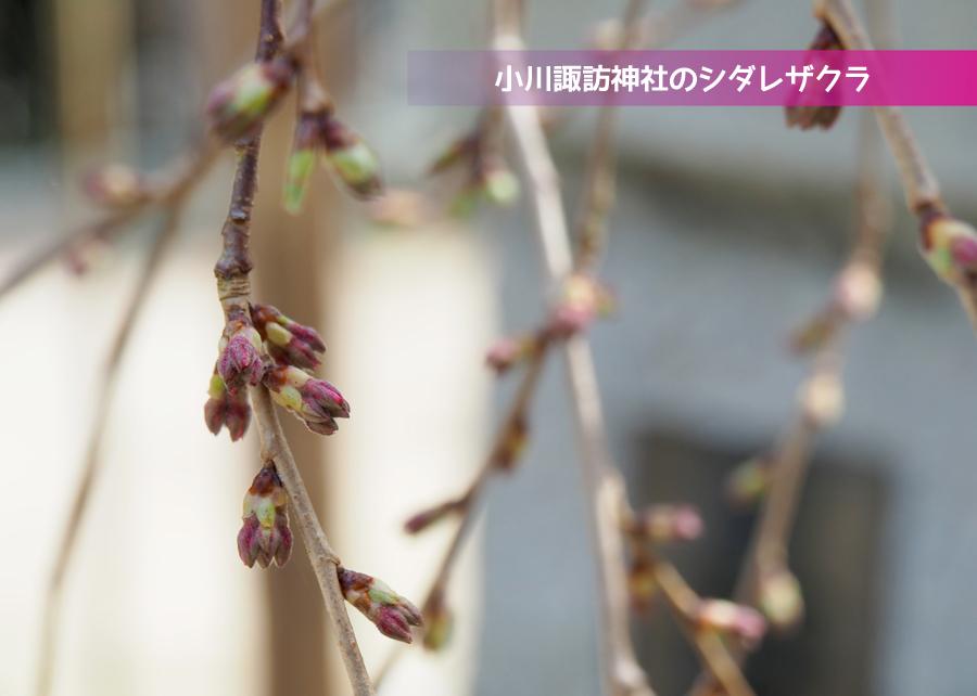 《いわき市桜情報》小川諏訪神社のシダレザクラ 開花までもう間もなくです! [平成30年3月26日(月)更新]トップ