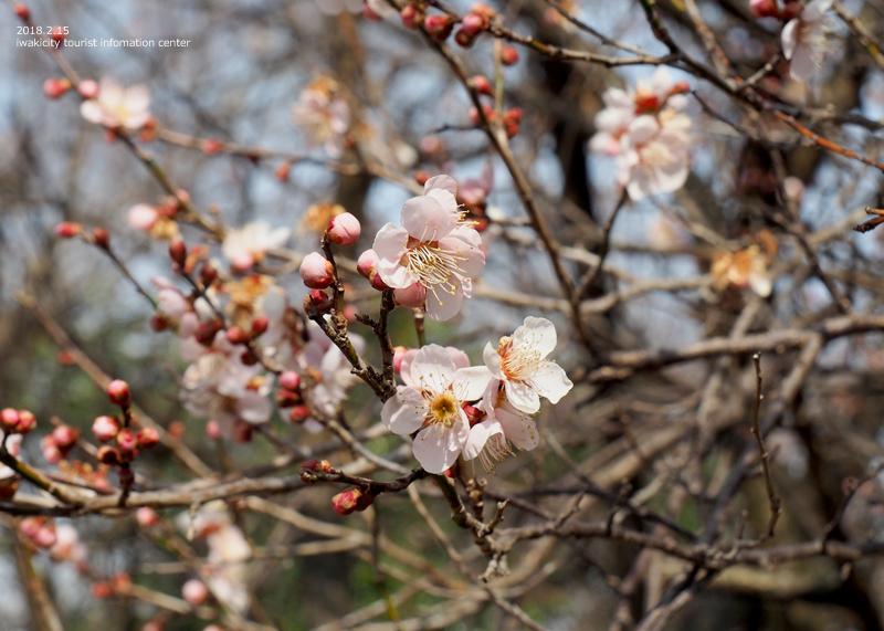 白鳥山温泉「喜楽苑」のウメが開花しました! [平成30年2月16日(金)更新]3