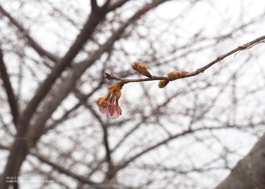 常磐共同火力(株)勿来発電所の河津桜 [平成30年2月24日(日)更新]7