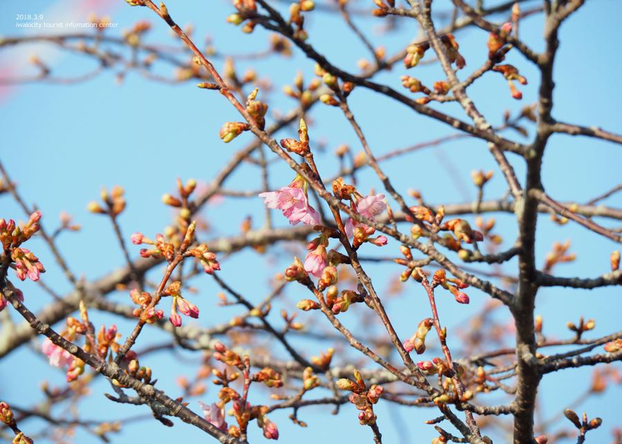 常磐共同火力(株)勿来発電所の河津桜が開花しました♪ [平成30年3月9日(金)更新]3