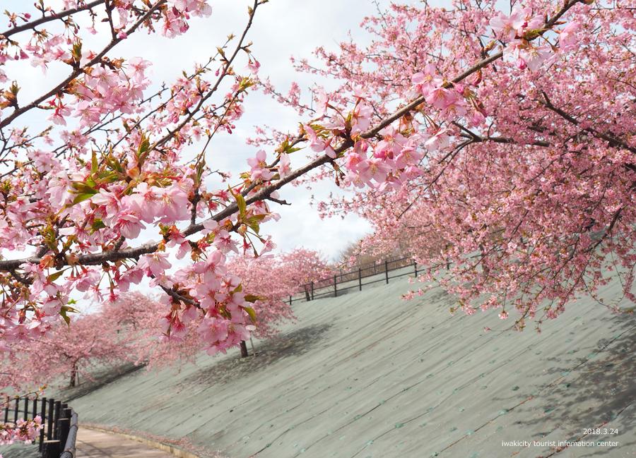 21世紀の森公園の河津桜が見頃です! [平成30年3月24日(日)更新]3