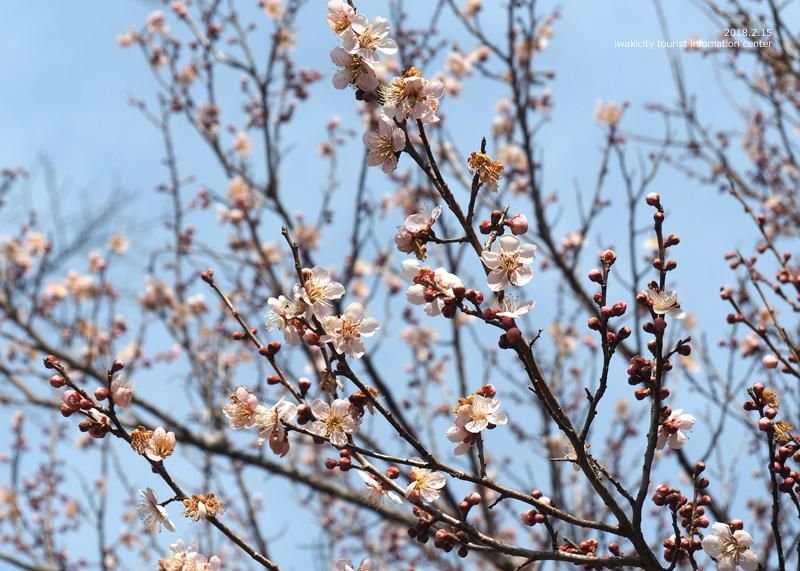 白鳥山温泉「喜楽苑」のウメが開花しました! [平成30年2月16日(金)更新]4