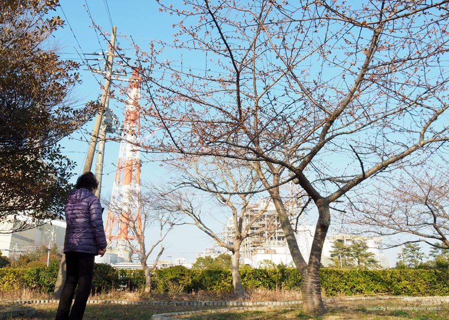 常磐共同火力(株)勿来発電所の河津桜が開花しました♪ [平成30年3月9日(金)更新]4