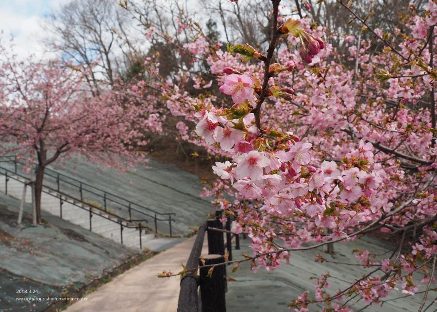 21世紀の森公園の河津桜が見頃です! [平成30年3月24日(日)更新]4