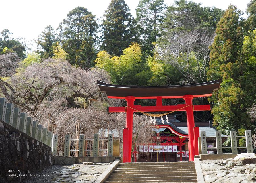 《いわき市桜情報》小川諏訪神社のシダレザクラ 開花までもう間もなくです! [平成30年3月26日(月)更新]4