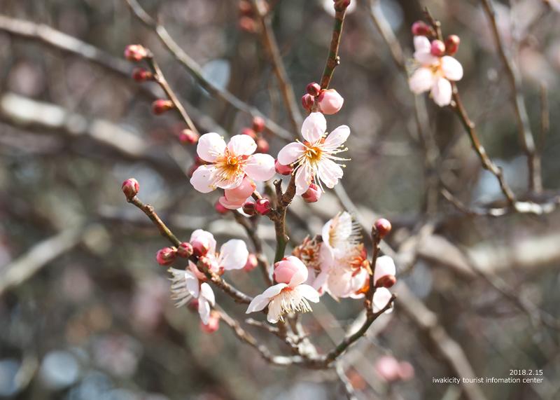 白鳥山温泉「喜楽苑」のウメが開花しました! [平成30年2月16日(金)更新]5