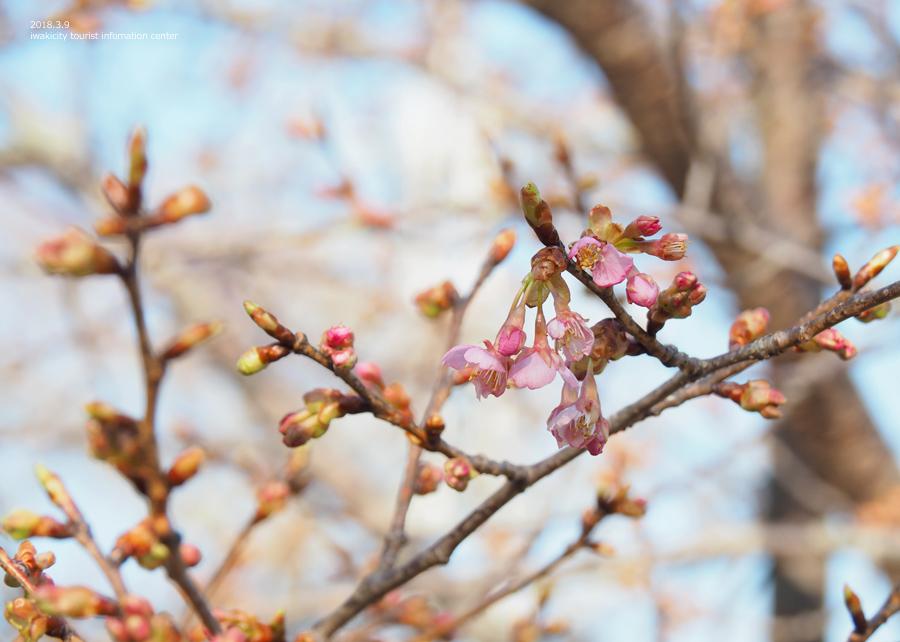 常磐共同火力(株)勿来発電所の河津桜が開花しました♪ [平成30年3月9日(金)更新]5