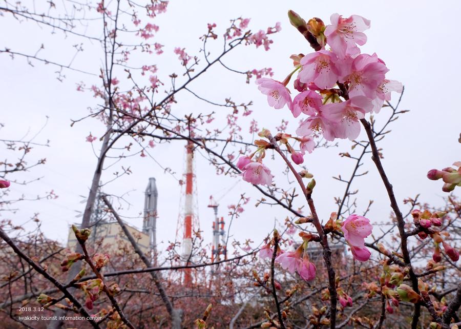 常磐共同火力(株)勿来発電所の河津桜 2分程度まで開花しました! [平成30年3月12日(月)更新]5