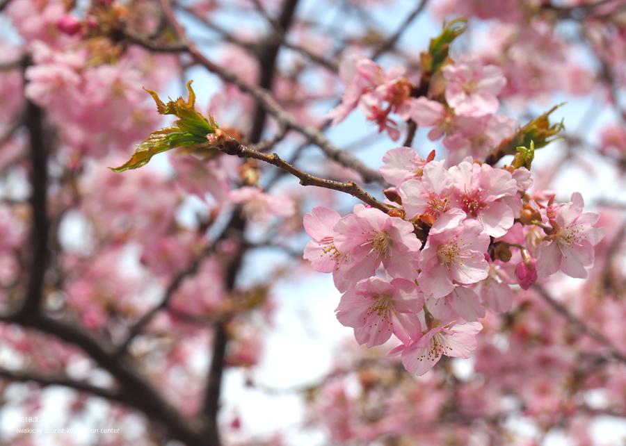 21世紀の森公園の河津桜が見頃です! [平成30年3月24日(日)更新]5