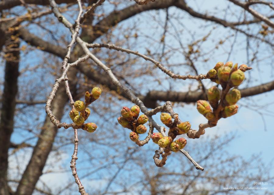 《いわき市桜情報》松ヶ岡公園のソメイヨシノ 開花までカウントダウン! [平成30年3月25日(日)更新]5
