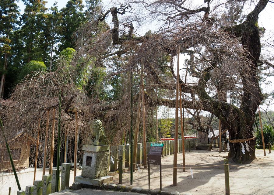 《いわき市桜情報》小川諏訪神社のシダレザクラ 開花までもう間もなくです! [平成30年3月26日(月)更新]5