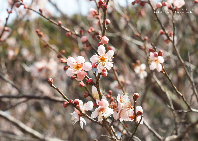 白鳥山温泉「喜楽苑」のウメが開花しました! [平成30年2月16日(金)更新]6