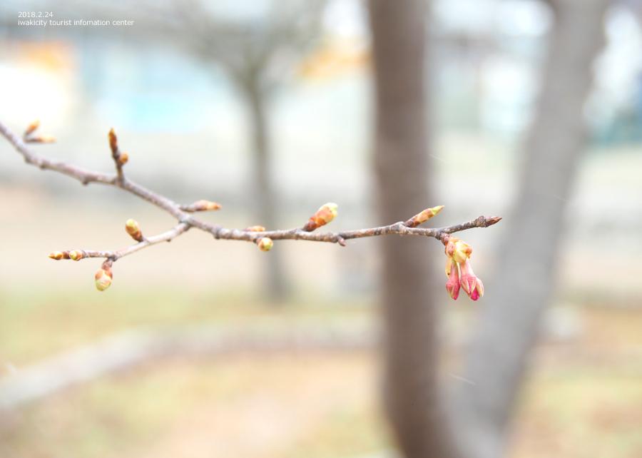常磐共同火力(株)勿来発電所の河津桜 [平成30年2月24日(日)更新]8