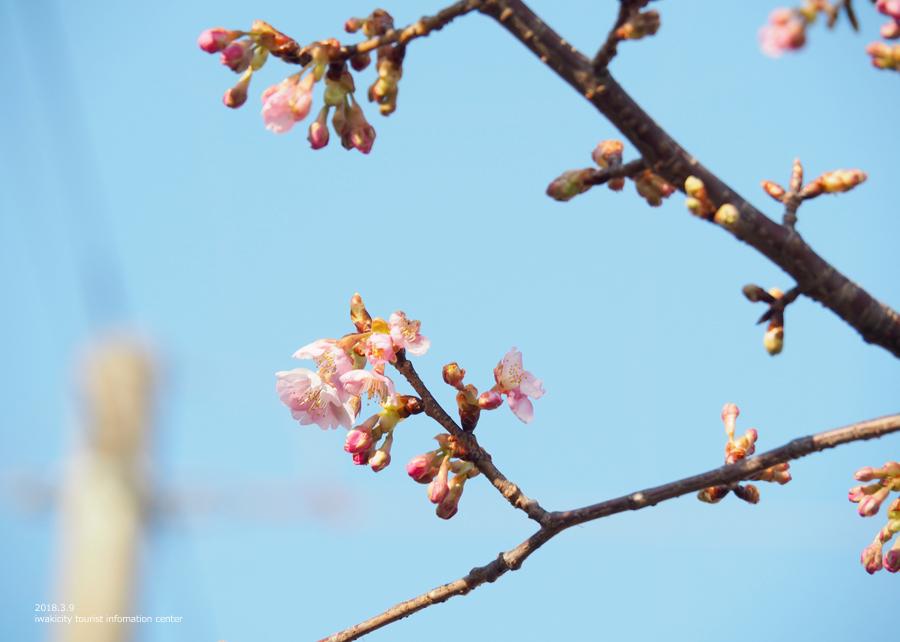 常磐共同火力(株)勿来発電所の河津桜が開花しました♪ [平成30年3月9日(金)更新]6