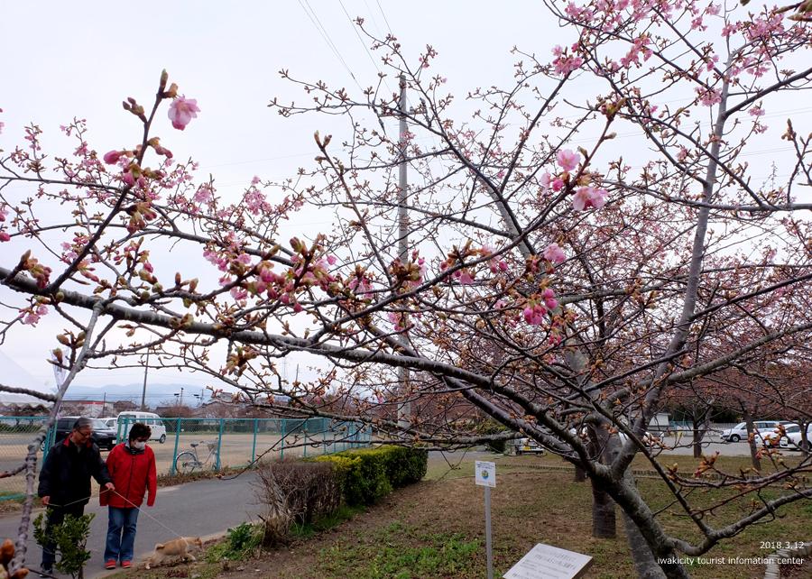 常磐共同火力(株)勿来発電所の河津桜 2分程度まで開花しました! [平成30年3月12日(月)更新]6