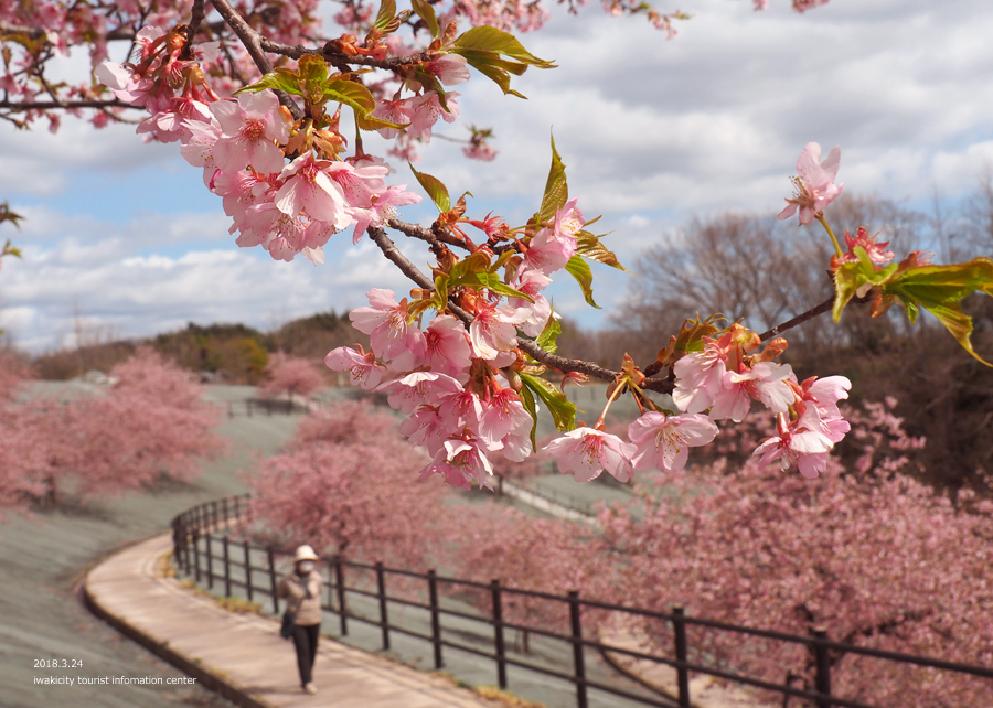 21世紀の森公園の河津桜が見頃です! [平成30年3月24日(日)更新]6
