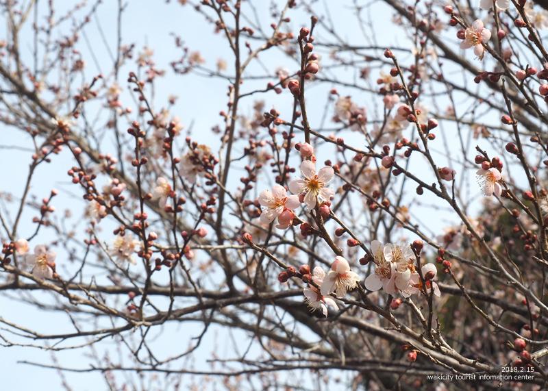 白鳥山温泉「喜楽苑」のウメが開花しました! [平成30年2月16日(金)更新]7
