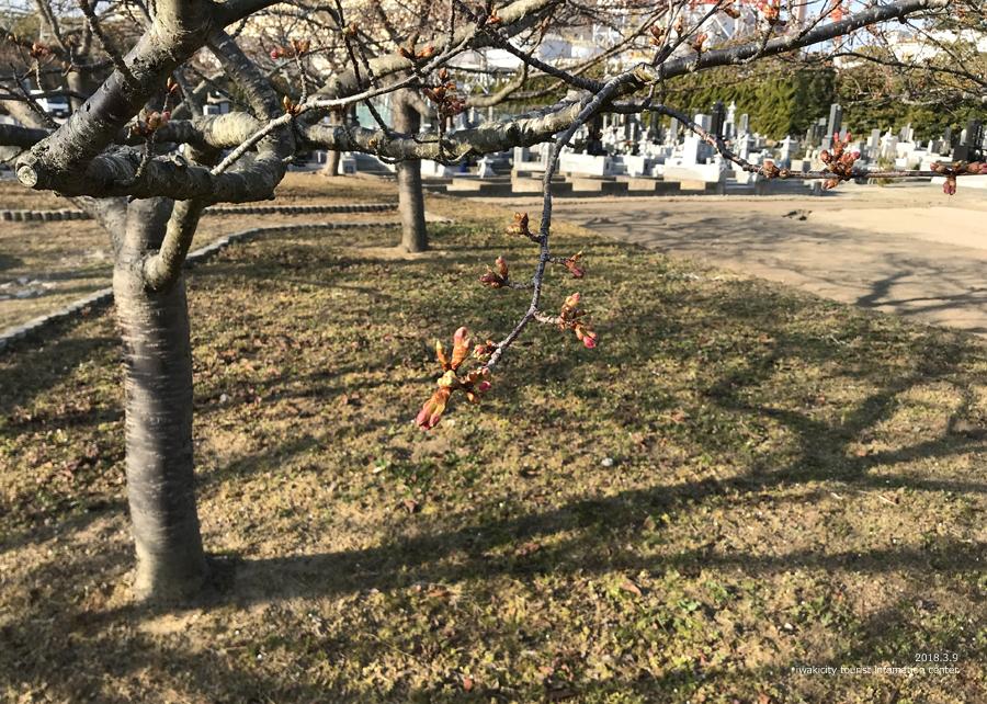 常磐共同火力(株)勿来発電所の河津桜が開花しました♪ [平成30年3月9日(金)更新]7