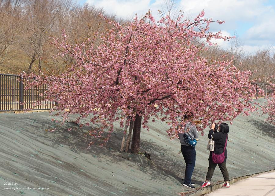 21世紀の森公園の河津桜が見頃です! [平成30年3月24日(日)更新]7