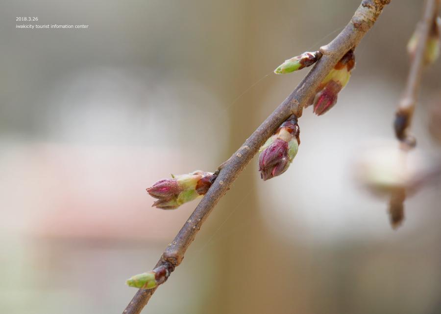 《いわき市桜情報》小川諏訪神社のシダレザクラ 開花までもう間もなくです! [平成30年3月26日(月)更新]6