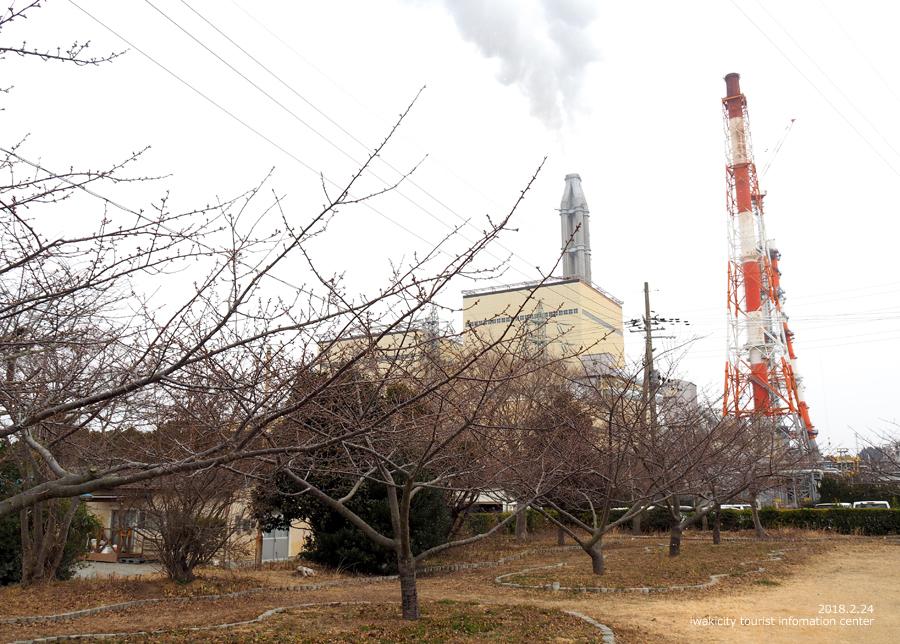 常磐共同火力(株)勿来発電所の河津桜 [平成30年2月24日(日)更新]4
