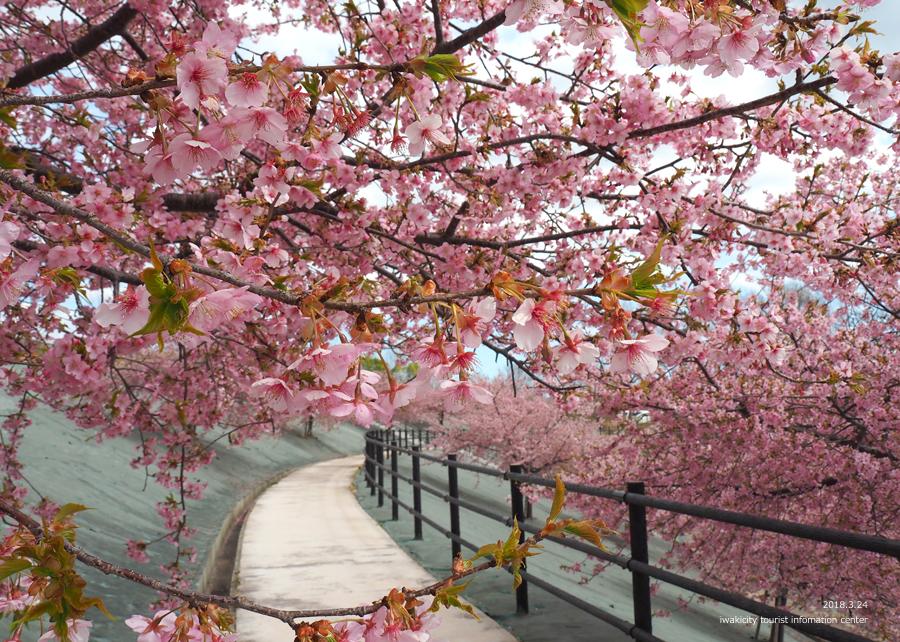 21世紀の森公園の河津桜が見頃です! [平成30年3月24日(日)更新]8