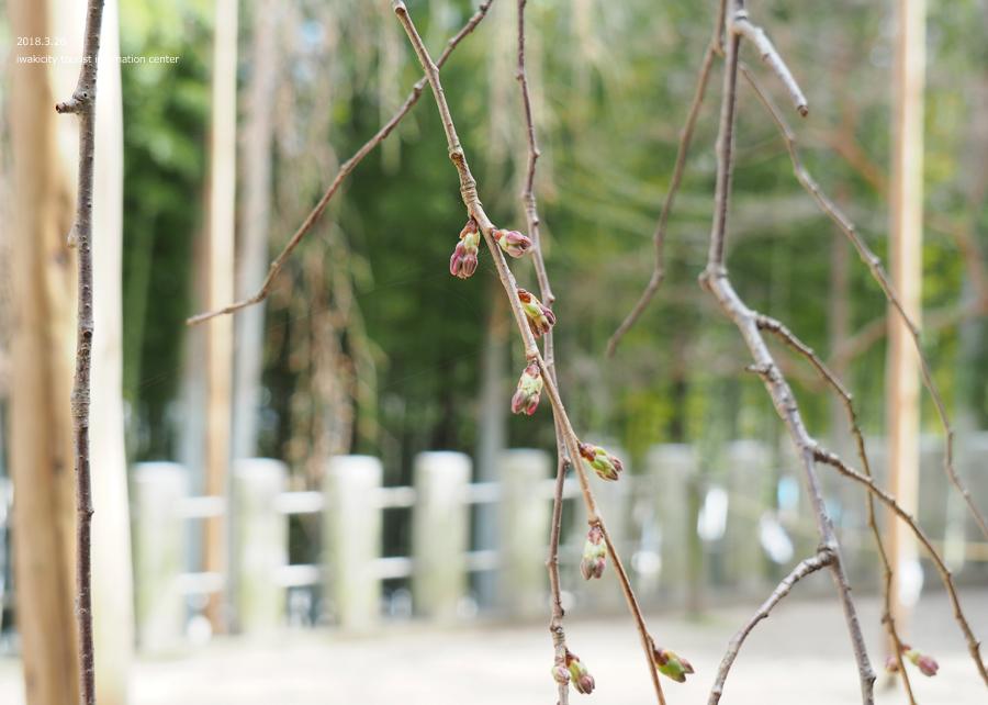《いわき市桜情報》小川諏訪神社のシダレザクラ 開花までもう間もなくです! [平成30年3月26日(月)更新]7