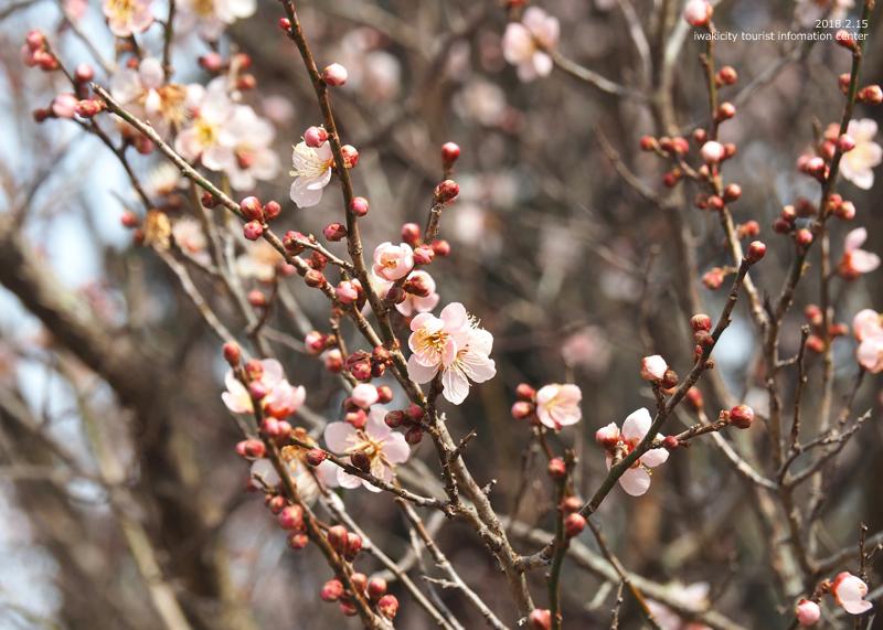 白鳥山温泉「喜楽苑」のウメが開花しました! [平成30年2月16日(金)更新]9