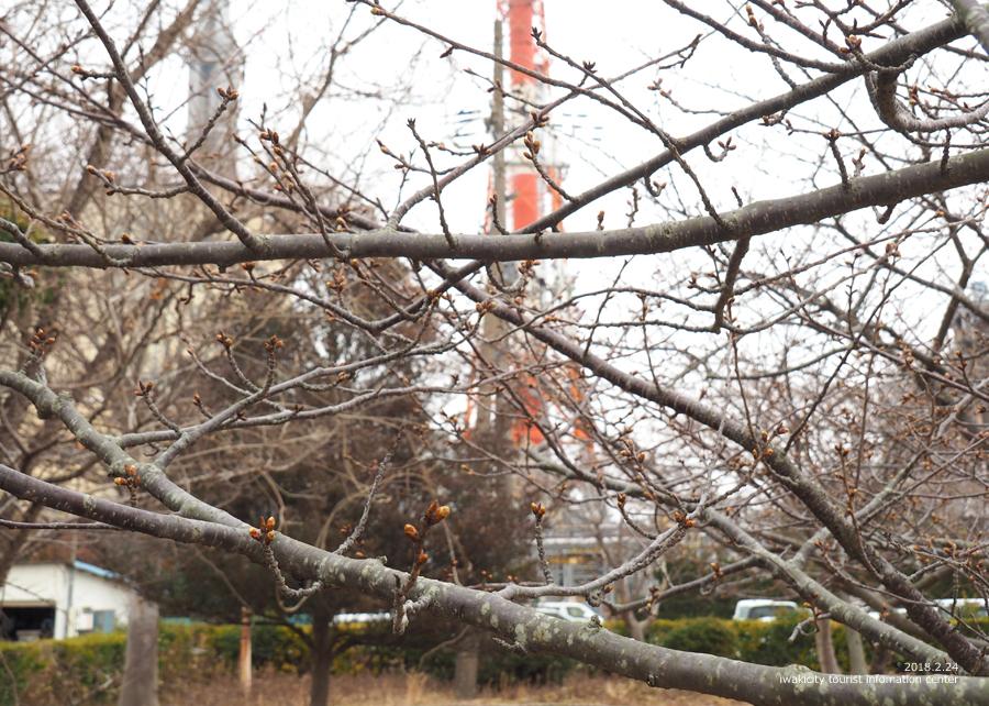 常磐共同火力(株)勿来発電所の河津桜 [平成30年2月24日(日)更新]5