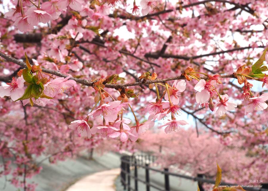 21世紀の森公園の河津桜が見頃です! [平成30年3月24日(日)更新]9