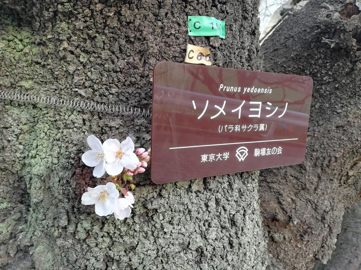 東京大学駒場キャンパスのソメイヨシノ