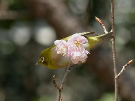 椿寒桜 & メジロ 1