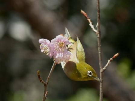 椿寒桜 & メジロ 2