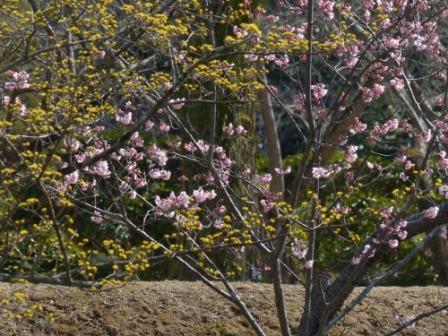 道後公園 椿寒桜 & サンシュユ 1