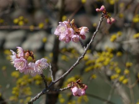道後公園 椿寒桜 & サンシュユ 2