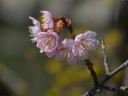 道後公園 椿寒桜 & サンシュユ 3