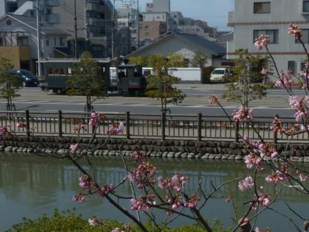 坊っちゃん列車 & 椿寒桜 1