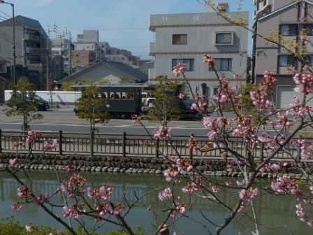 坊っちゃん列車 & 椿寒桜 2