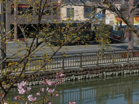 坊っちゃん列車 & サンシュユ・椿寒桜