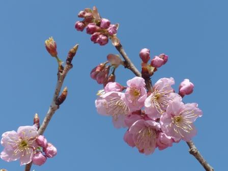 道後公園 椿寒桜 2