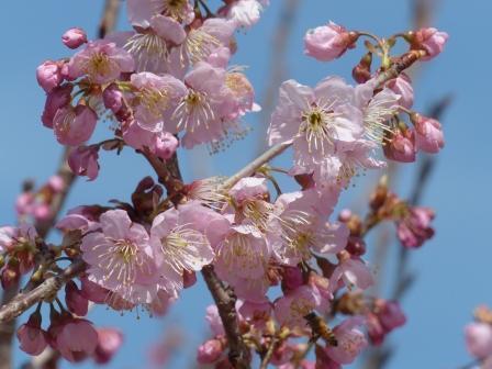 道後公園 椿寒桜 4