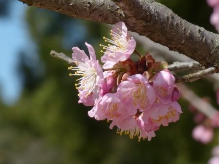 道後公園 椿寒桜 5