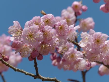 道後公園 椿寒桜 7