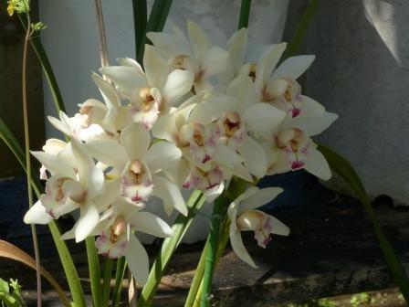 森の交流センター・温室 ラン科の花 1