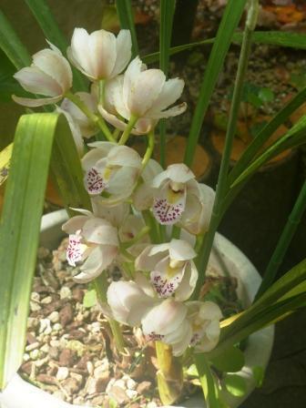 森の交流センター・温室 ラン科の花 2