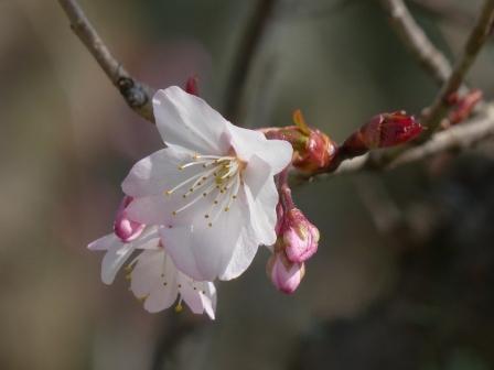 十六日桜 5
