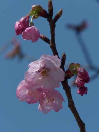 陽光 (桜) 1